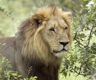 Lion in Africa. African Lion in the Kruger National Park, South Africa Stock Images