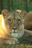 Lion in Africa. An beautiful african lioness portrait in a game park in South Africa Royalty Free Stock Photography