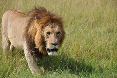 Lion in Africa Royalty Free Stock Photos