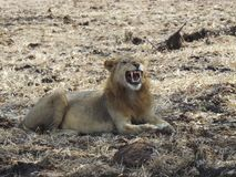 Lion. Africa Tanzania safari wildlife Royalty Free Stock Photos