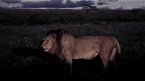Lion In Africa - vintage 8m m almacen de video