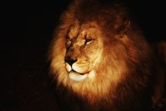 Lion africain Photos stock