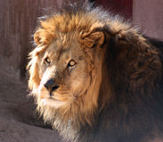 Lion africain photographie stock