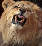 Lion africain Photo libre de droits