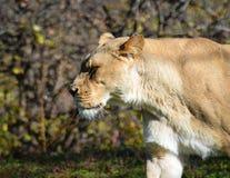 Lion africain Images libres de droits