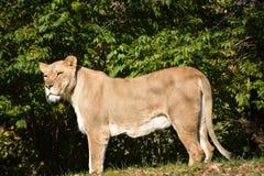 Lion africain Image stock