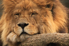 Lion africain Photographie stock libre de droits