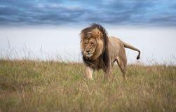 Lion africain Photos stock