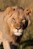 Lion africain Photo stock