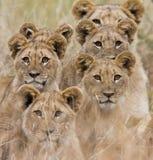 lion africain Image libre de droits