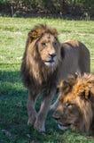 Lion africain Photo libre de droits