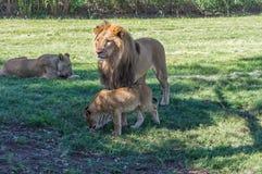 Lion africain Photos libres de droits
