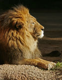 lion africain Images stock