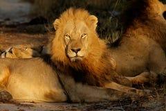 Lion africain, Afrique du Sud photographie stock