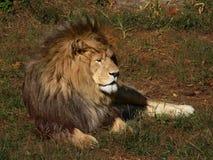 Lion africain au repos Image stock