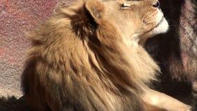 Lion africain baîllant banque de vidéos