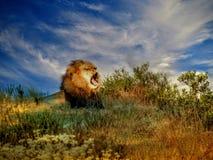 Lion africain baîllant Image stock