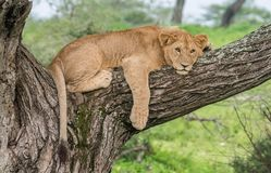 Lion africain dans l'arbre photos libres de droits