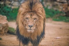 Lion africain dans le zoo photo stock