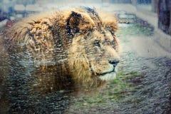 Lion africain dans le zoo Photographie stock libre de droits
