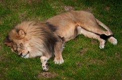Lion africain de sommeil (krugeri de Lion de Panthera) Images stock