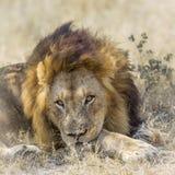 Lion africain en parc national de Kruger, Afrique du Sud image libre de droits