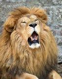 Lion africain fâché Photo stock