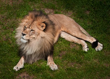 Lion africain (krugeri de Lion de Panthera) Photos stock