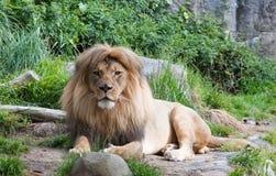 Lion africain mâle. Image libre de droits