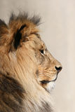 Lion africain mâle Photos stock