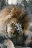 Lion africain mâle Image libre de droits