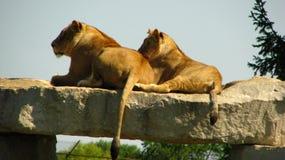 Lion africain regardant fixement nous d'un rebord de roche Image stock