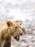 Lion. African Lion portrait with copy space Royalty Free Stock Photography