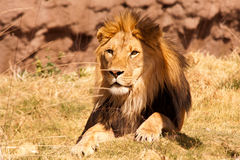 Lion-1 africano Foto de Stock Royalty Free