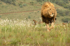 Lion, Afrique du Sud image libre de droits