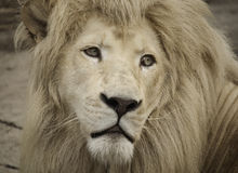 Lion  look 2 Royalty Free Stock Images