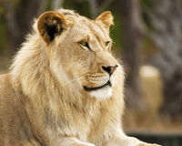 Lion Alert Royalty Free Stock Photos
