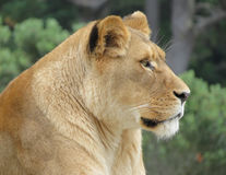 Lion Alert. On whats happening around him Royalty Free Stock Photo