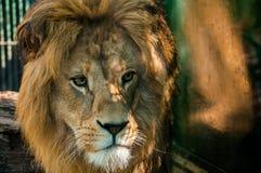 Lion Alfa Male. Straight shot of a Lion alfa male Stock Photo