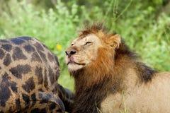 lion alimentant Photos libres de droits