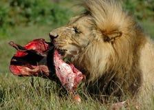 Lion alimentant Photos stock