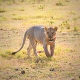 Lion, amboseli, kenya stock image