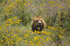 Lion amid flowers - conservation area - Tanzania Royalty Free Stock Image