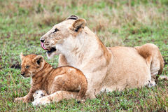 Lion And Her Cub Royalty Free Stock Images