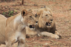 Free Lion And Lioness Stock Photography - 22620122