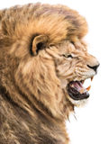 Lion anger. Angry roaring lion isolated on white background with copy space Stock Photo