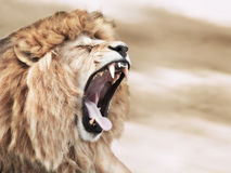 Lion anger. Angry roaring lion in wilderness Royalty Free Stock Photography