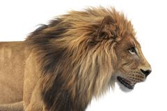 Lion animal african feline, close view. Lion african feline dangerous hunter, close view. 3D rendering Royalty Free Stock Photos