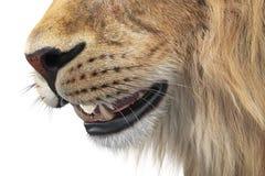 Lion animal wild feline, close view. Lion wild feline big teeth, close view. 3D rendering Stock Photos