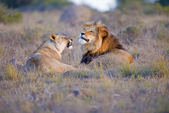 Lion Argument Royalty Free Stock Photos
